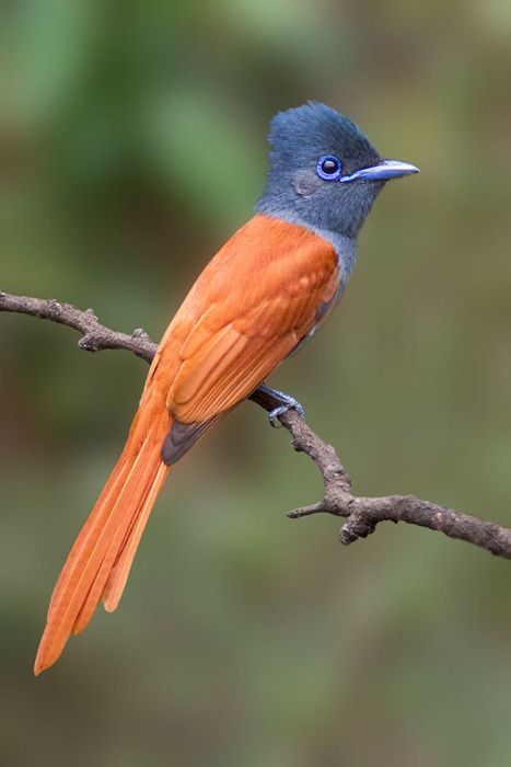 Paradise Flycatcher -Terpsiphoone viridis - this is the female who shares the spectacular colouring of the male but lacks his spectacular long tail.  There is a pair nesting in my garden and I often her their rasping 'twee-tiddly-te-te' call as they go about their business.   Photographer unknown