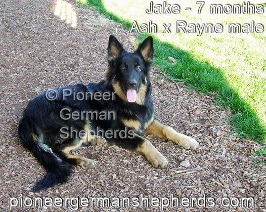 Large German Shepherd Jake at 7 months