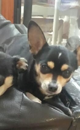 Tiny Dancer is an adoptable Chihuahua Dog in Acworth, GA Tiny dancer is a petite size chi. She is around 7