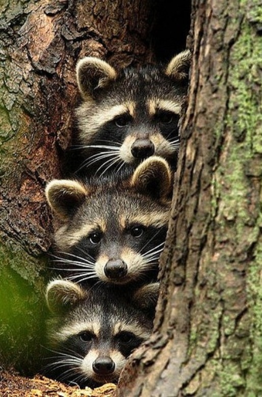 Peeking raccoons