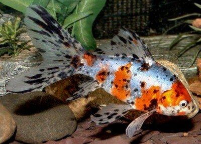 Shubunkin Goldfish or Calico Goldfish as they are sometimes referred to are beautiful fish. Shubunkin are of Japanese origin. Find out more about them today
