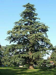 The Cedrus Deodara is the official national tree of Pakistan.