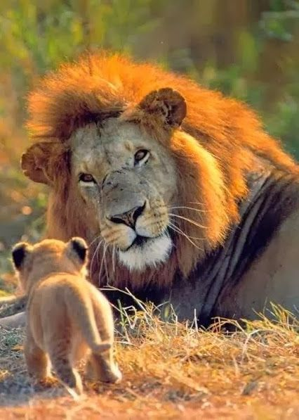 Can I sneak this one in with a Father? So nice! vahşi bir hayvanın yavrusuna şefkat ile bakışı