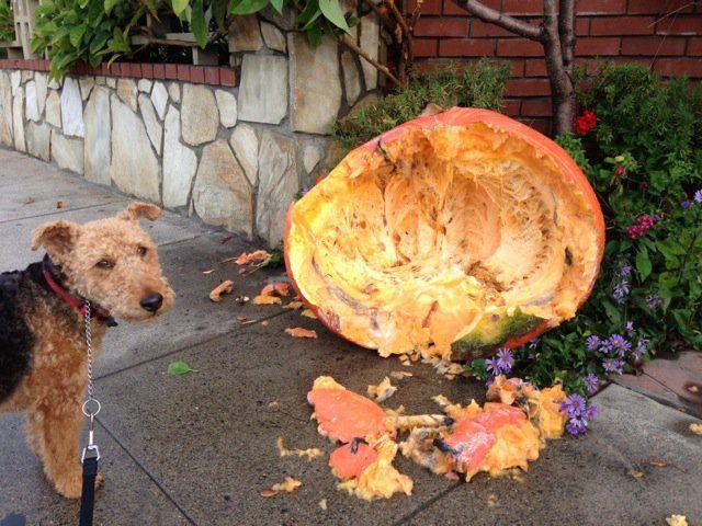 cardiff, patrick mahaney, pumpkin good for pets, health benefits of pumpkin for pets, broken pumpkin