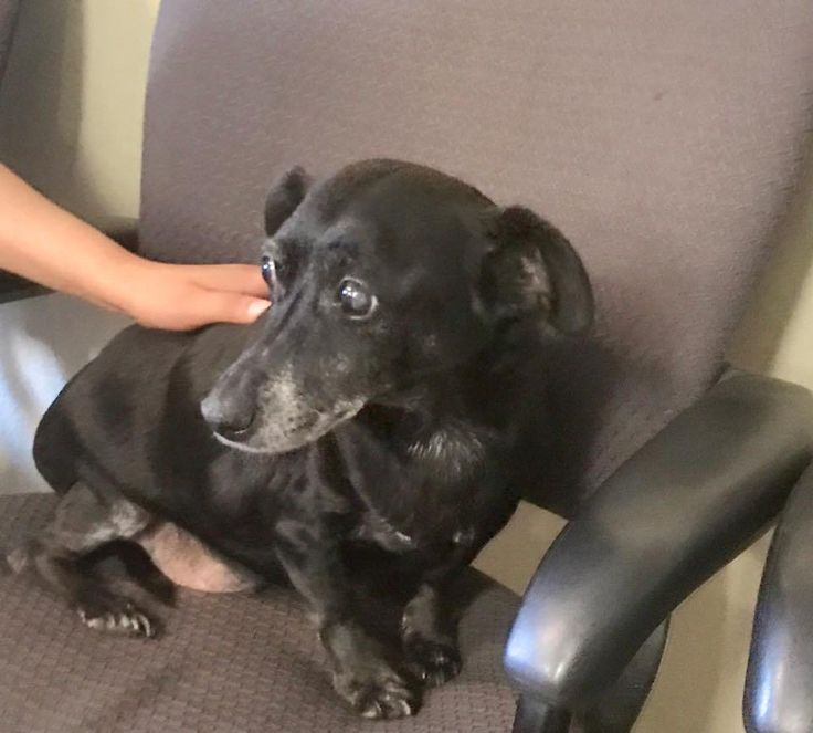 On Tuesday afternoon, a very sweet 17-year-old neutered dachshund mix was surrendered to the busy open admission's San Bernardino City Animal Shelter. No loyalty here – sadly stated shelter volunteer Andrea Neyses as she tried to calm the frightened, shivering dog as his family walked away from him for the last time. His name is …