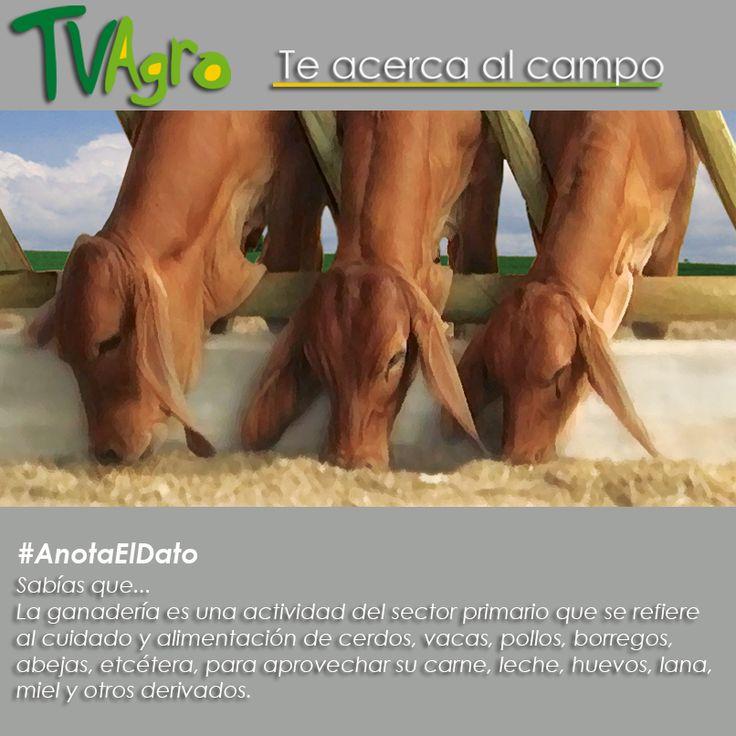 #AnotaElDato  La ganadería de hoy involucra cada vez más especies animales.