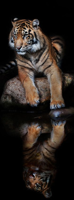 Sumatran Tiger Reflection Photography . Yes, I am beautiful aren't I?  In my head he sounds like the Dos Equis guys.