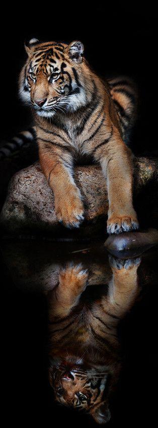 Aceh the Sumatran tiger