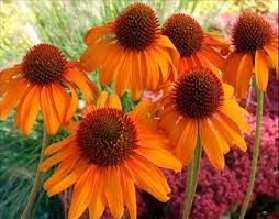 Bildresultat för solhatt blomma