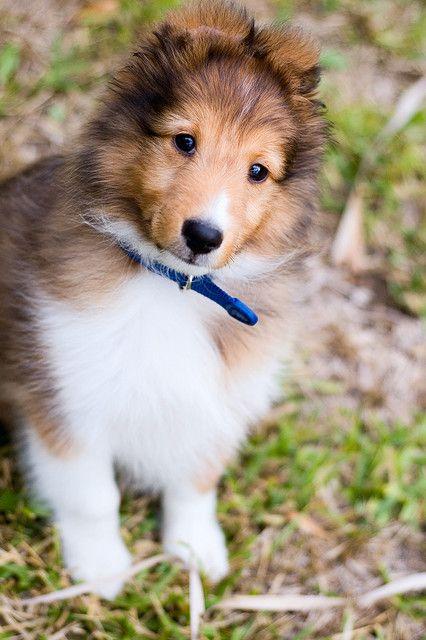 a sheltie pup