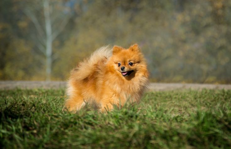 Beautiful Miniature Spitz