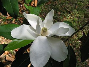 Immergrüne Magnolie (Magnolia grandiflora), Blüte.