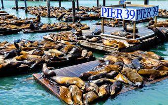 Am Pier 39 in San Francisco aalen sich häufig Gruppen von Seelöwen in der Sonne