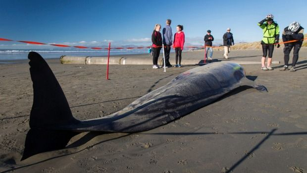 A false killer whale rescued from a Christchurch beach does not appear to have restranded.