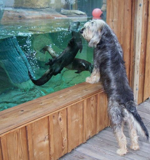 Fun fact: Did you know the Otterhounds are more rare than the Giant Panda?
