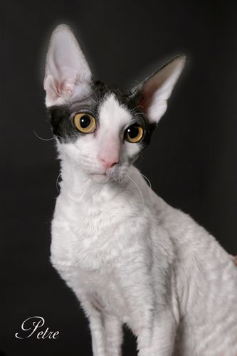 My next cat will be one of these...a Cornish Rex!