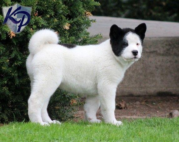 Tweety – Akita Puppies for Sale in PA | Keystone Puppies - $750.00 - Female - 11 weeks - Akita.