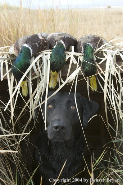 Duck hunting - that's a bad ass dog!
