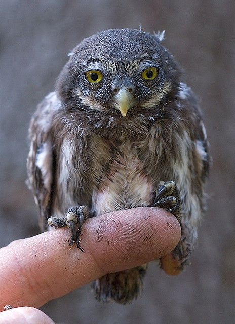 The Eurasian Pygmy Owl Is Absolute Smallest Living Species In Europe Its Coloring Brown Or Sometimes Ruddy Greyish Plumage With White Speckles