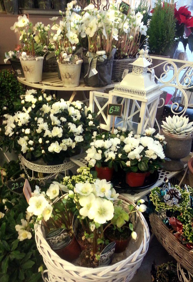 Valkoisia joulukukkia: jouluuusu, atsalea, tulilatva, mehikasvi