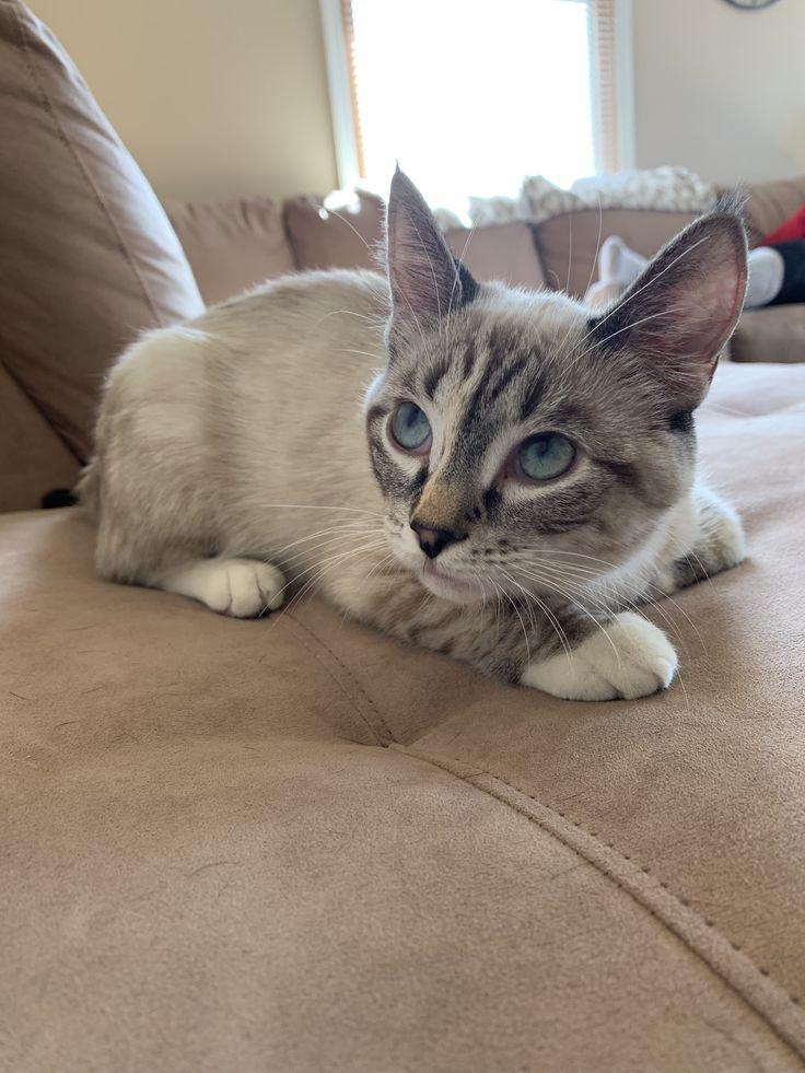 Siamese Siamesecats Cats Cat Siam Brown Cat Siamese Cats