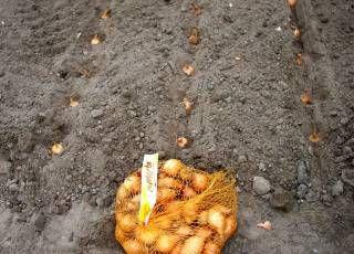 Zwiebeln anbauen