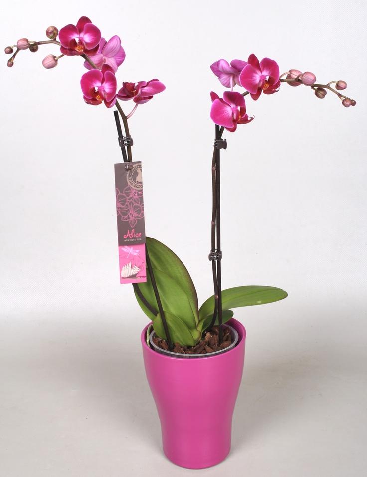 Alice Adventures Phalaenopsis Orchid 'Kitty Miao'