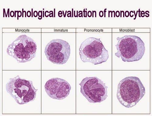 Morphological evaluation of monocytes