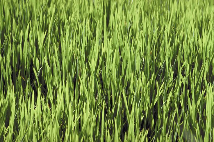 Learn how to efficiently seed, feed, and weed your lawn, among other techniques. The Old Farmer's Almanac presents a guide to simple lawn care.