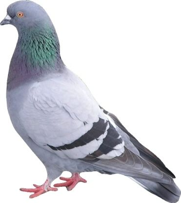 pigeon - Google Search