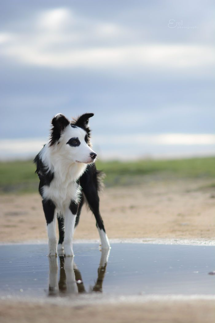 Great shot @yummypets #border #collie