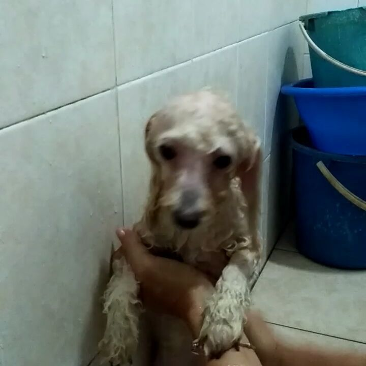 Peanut The Poodle Is Taking His Weekly Bath On Sunday Poodle