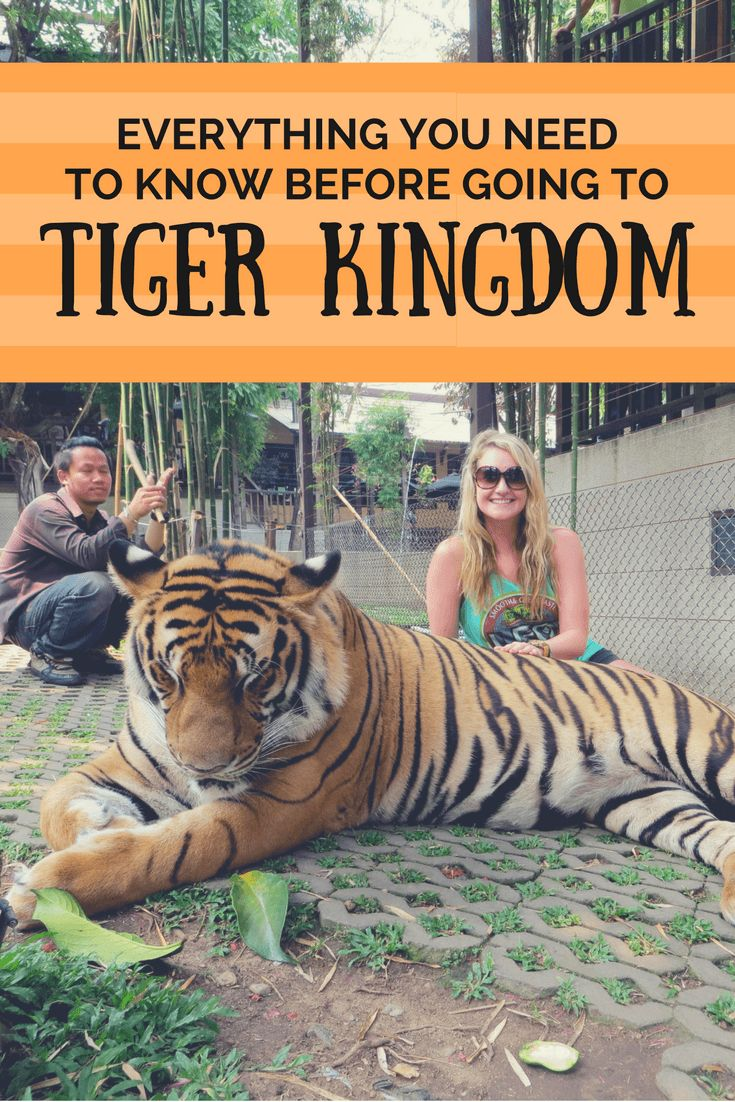 Thinking about visiting Tiger Kingdom? Here's what life is like there for the tigers.