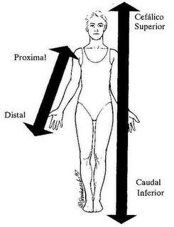 INFERIOR/CAUDAL. La parte de abajo del cuerpo.