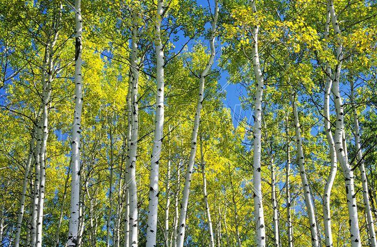 Trembling Aspen Trees -             Fototapeter & Tapeter -           Photowall