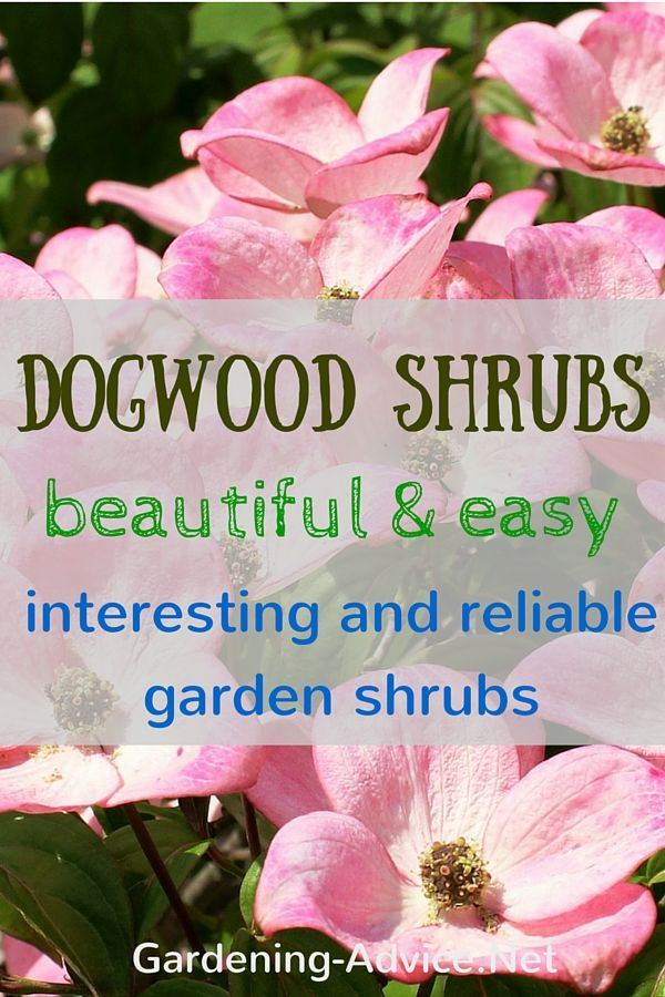 Dogwood Shrubs should not be missing in your garden.The Flowering dogwood tree or  the red twig dogwood are some of the most beautiful and easy growing shrubs you can grow.