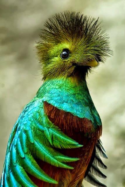 Resplendent Quetzal, South America | Birds and Animals ...