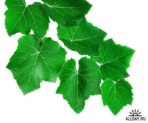 Зеленые листья - Растровый клипарт | Green leaves - UHQ Stock Photo