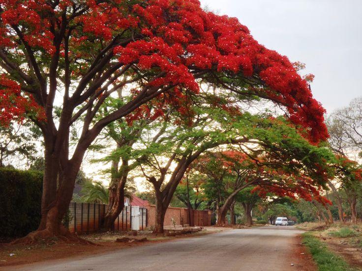 Flame Trees, Harare, Zimbabwe