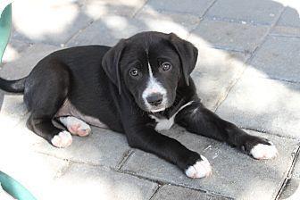 Cocker Spaniel Puppies In West Palm Beach