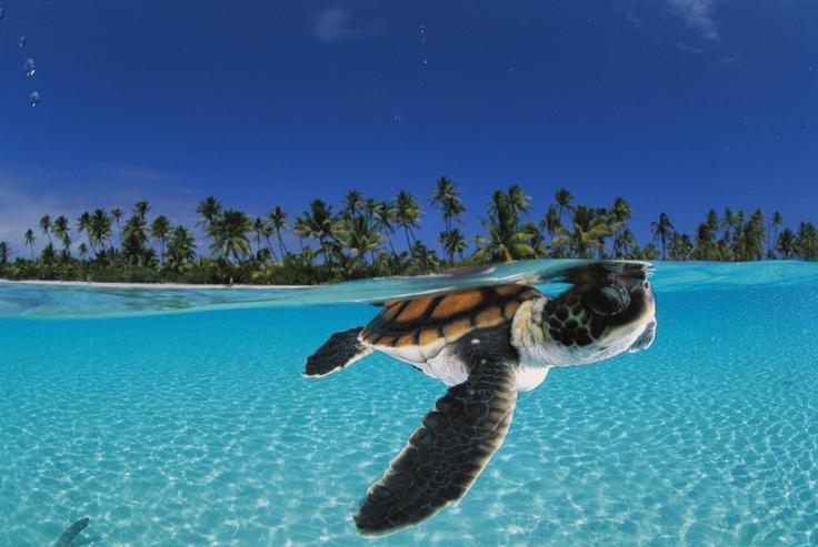 Green Sea, Baby Green, David Doubilet, Animal Photography, Keep Swimming, Baby Animal, Baby Turtles, Cutest Animal, Baby Sea Turtles
