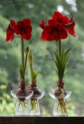Amaryllis in hyacinth vases. Welcome to my page about amaryllis, hyacinths and other bulbs http://www.facebook.com/flowerindoorgardening  #amaryllis #vase #bulb