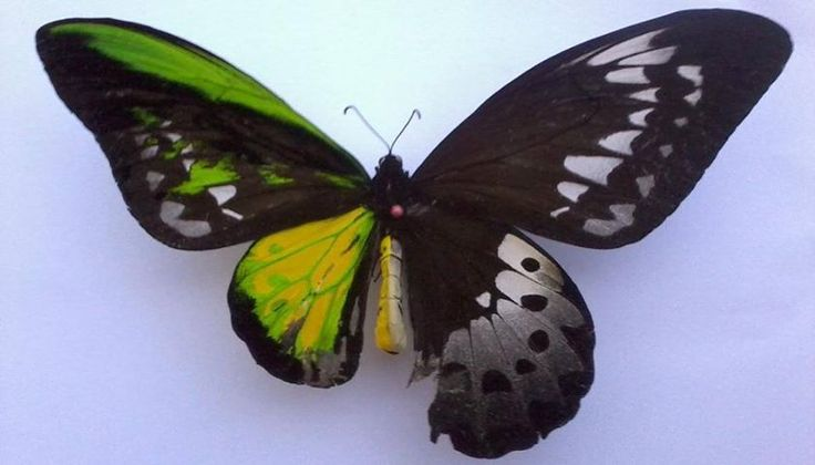 Half female, half male butterfly. Bilateral gynandromorphism is a rare genetic disorder that afflicts insects, arachnids, crustaceans and birds, and could be caused when two sperm enter the egg.
