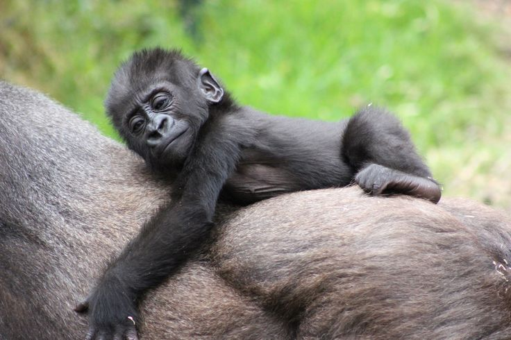 Why walk when you can ride? Baby gorillas like Fabumi learn to ride on their mother's back at three to four months of age.
