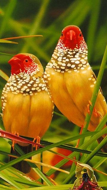 Colorful birds - Australian Star Finches.