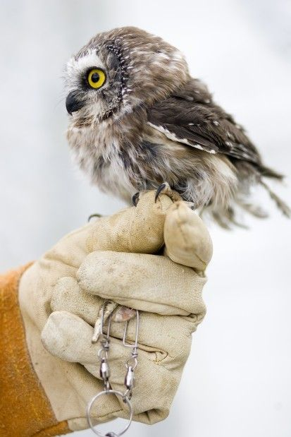 Teacup-sized owl raises funds for animal rescue: Connery the Saw-whet owl poses for a picture on top of Patti Richards' hand at Great Basin Wildlife Rehabilitation on Tuesday, March 8, 2011 in Mapleton. Connery, named after Sean Connery, has his own facebook page. Image credit: Ashley Franscell/dailyherald #Owlet