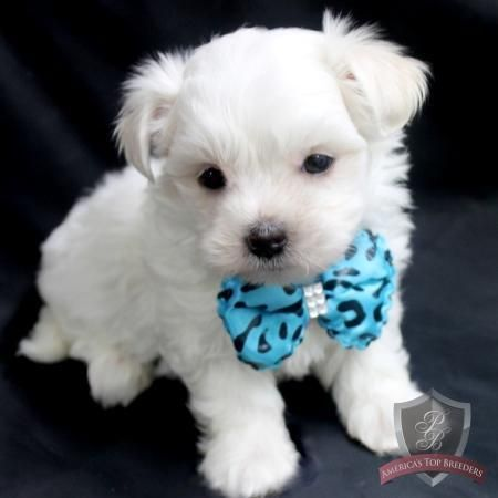 boy maltese best 25 white puppies ideas on pinterest white dogs 4225