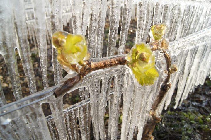 Chablis, aspersion d'eau avant le gel pour protéger la vigne dans sa coque de glace