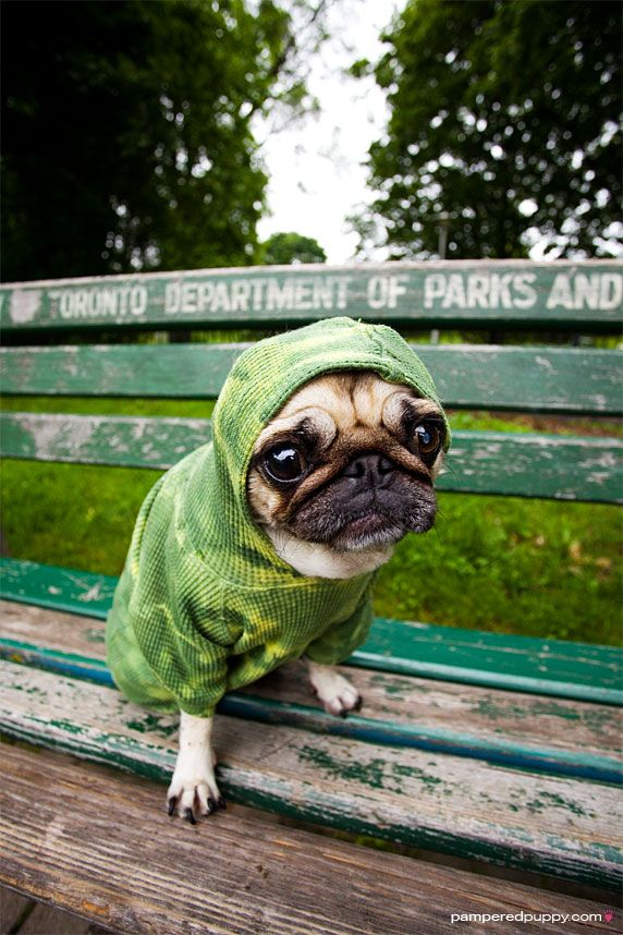 little green alien: Green Aliens, Aliens Pugs, Thug Pugs, Frogs Dogs, Fawns Puggi, Cute Pugs, Pampered Puppies, Pugs Life, Dogs Parks