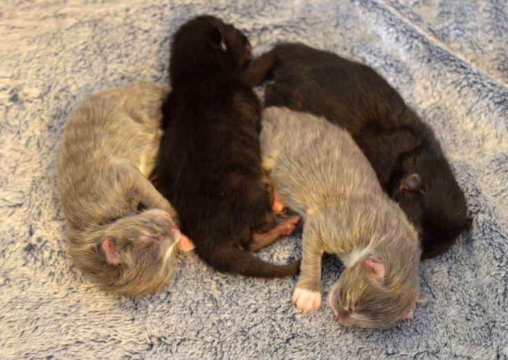 Nova's 4 3 day old kittens. Cute little ball of sleeping kittens!